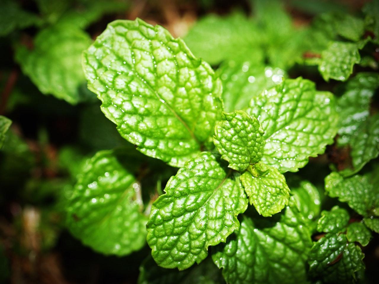 bienfaits-huile-essentielle-menthe-verte-mentha-spicata
