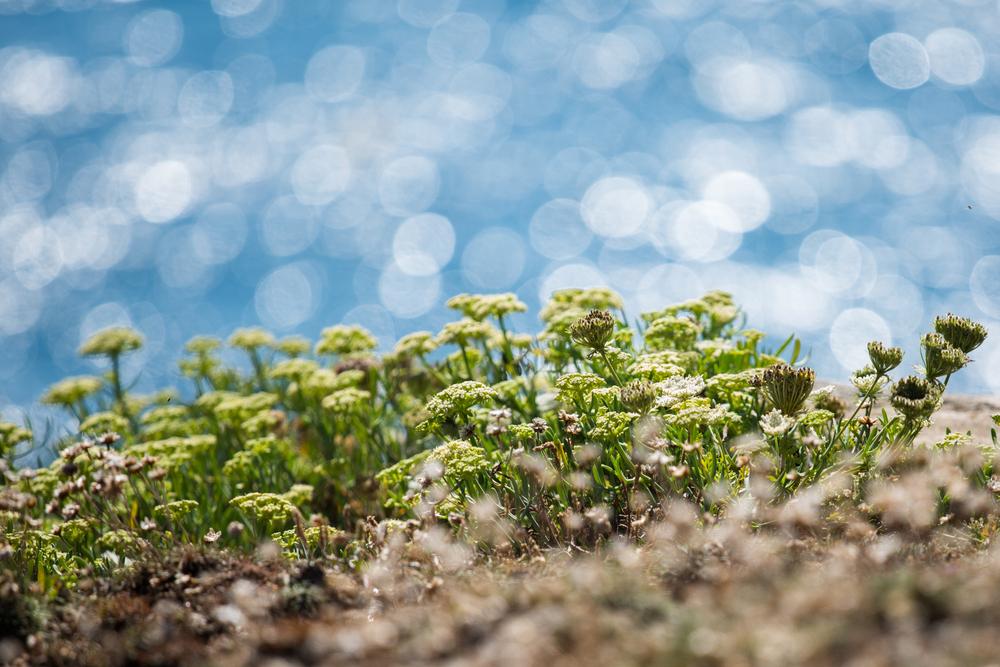 vertues-bienfaits-criste-marine-fenouil-marin